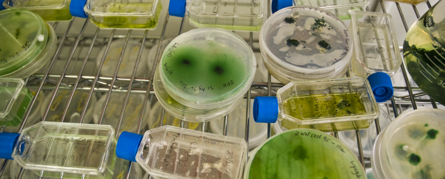 Petri dishes used in algal biofuel research.