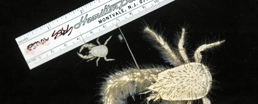 "Researchers collected more than 50 rare white, furry-clawed ""yeti"" crabs"