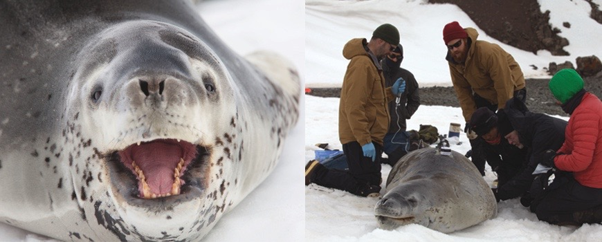 Scientists research leopard seals in Antarctica.