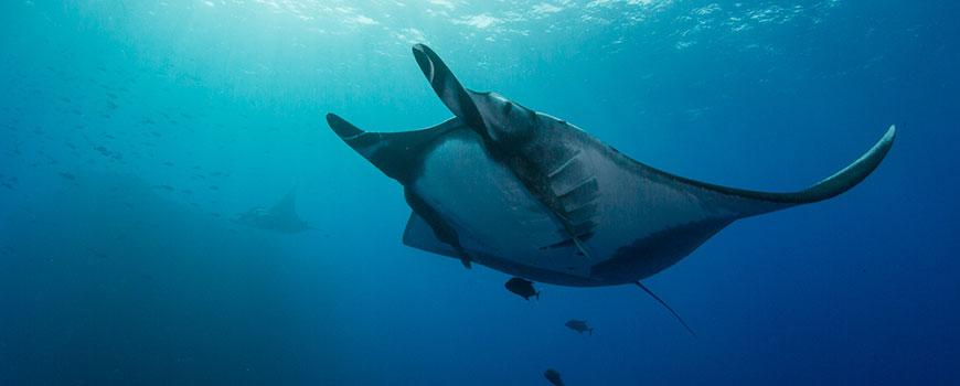 A giant manta ray swims