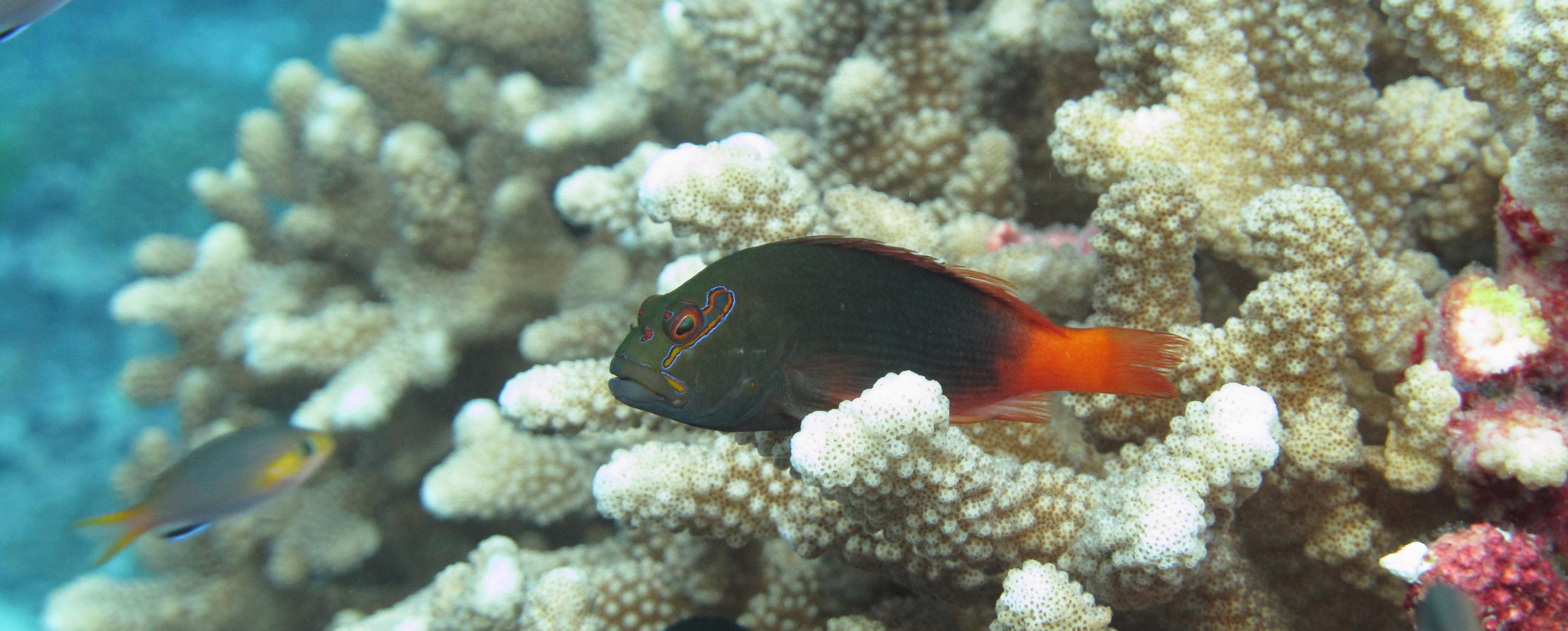 Arc-eye hawkfish on a reef in the South Pacific. PC: Brian Zgliczynski