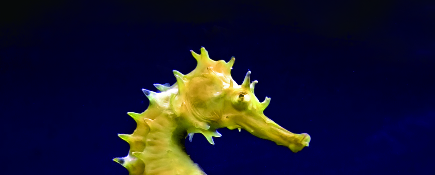 There's Something About Seahorses at Birch Aquarium at Scripps