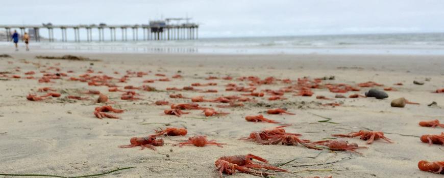 Tuna crab invasion