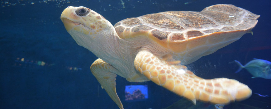 Loggerhead Sea Turtle at Birch Aquarium at Scripps
