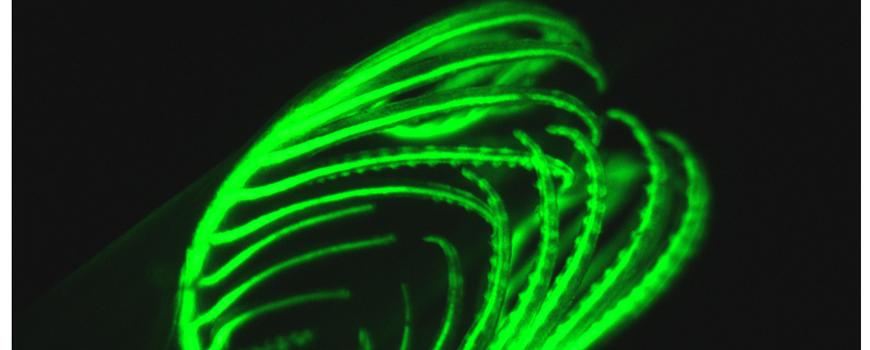 Amphioxus fluoresence