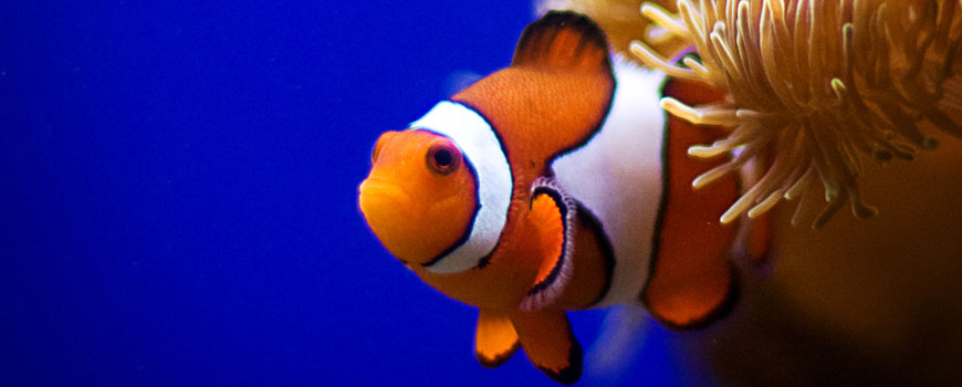 A clownfish at Birch Aquarium.