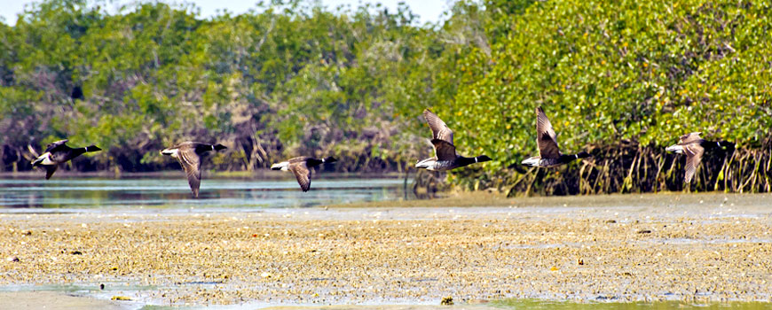 New Report Links Duck Hunting to Health of Baja Lagoons