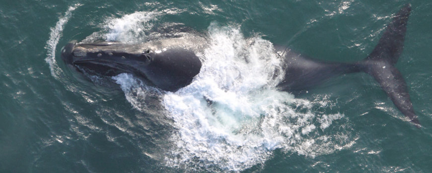 A North Pacific Right Whale in the Bering Sea (2009). Credit: Permit No. 782-1719 by Brenda K. Rone (NOAA/AFSC/NMML).