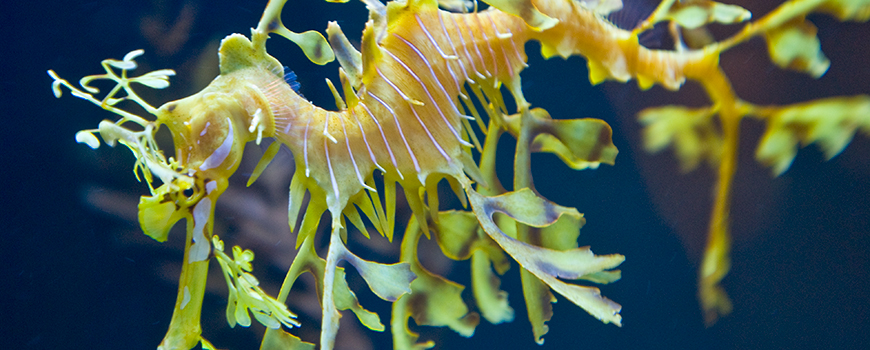 A Leafy Seadragon at Birch Aquarium at Scripps
