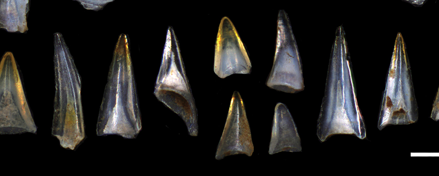 An assortment of Early Cenozoic ichthyoliths. Photo: Elizabeth Sibert with Yale University