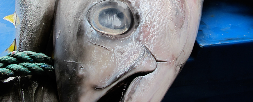 Scripps researchers analyzed tuna specimens for levels of pollutants in their tissue