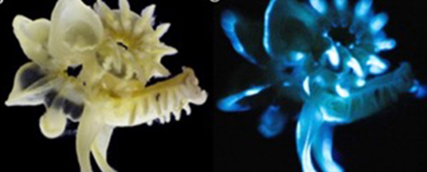 Parchment tubeworm in natural light (left) and while biofluorescing. Photo courtesy of Scientific Reports