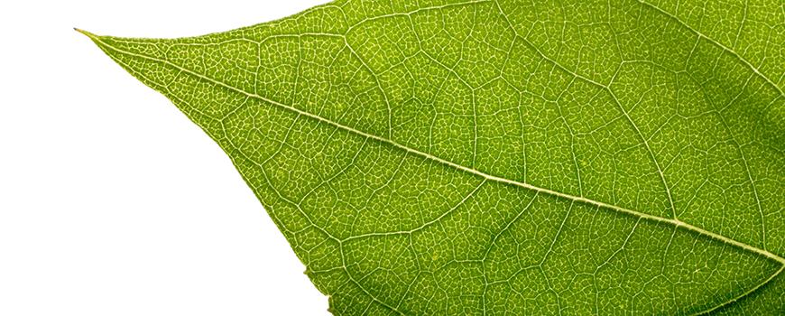 Leaf detail. Photo: MistikaS/iStock