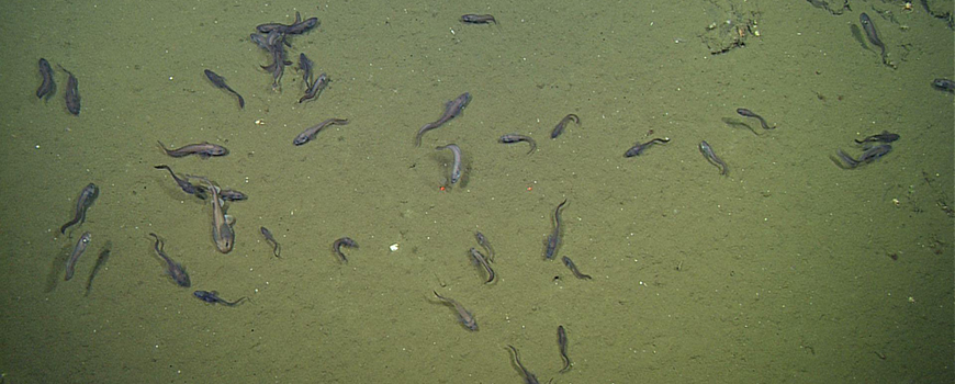 Catsharks and cusk eels on Gulf of California seafloor where oxygen levels are as little as three percent of those at surface