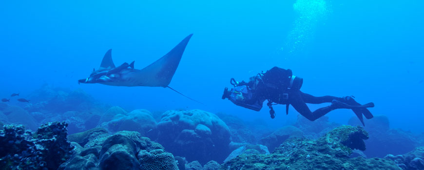 juvenile manta ray and diver