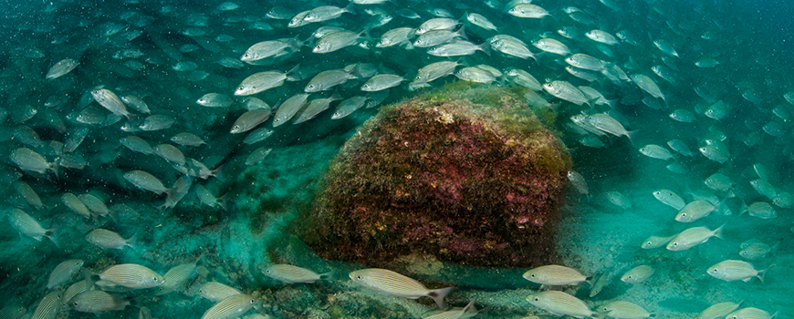Aggregation of spot-tailed grunts in the waters of Cabo Pulmo National Park. Photo: Octavio Aburto
