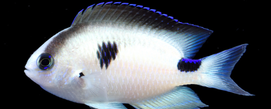 Corazon's Damsel or Pomacentrus vatosoa, a new species of damselfish. Photo: Y.K. Tea