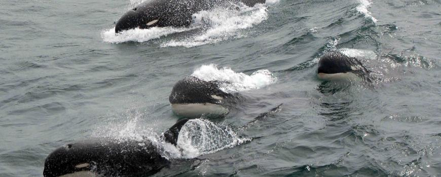 A rare photo of type D killer whales from South Georgia Island, showing their blunt heads and tiny eyepatches. Photo J.-P. Sylvestre