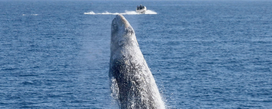 A gray whale breaching. Photo: Alisa Schulman-Janiger
