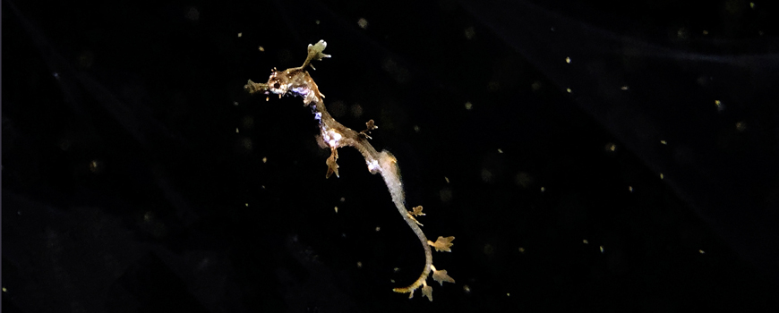 Birch Aquarium successfully breeds rare Weedy Seadragon for the first time