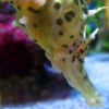 These potbellied seahorses will be featured at the new seahorses exhibit at Birch Aquarium at Scripps.