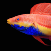 Cirrhilabrus cyanogularis, a colorful red, orange, yellow, and blue fish