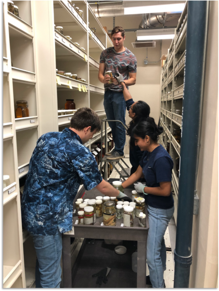 Students shelving UCLA specimens